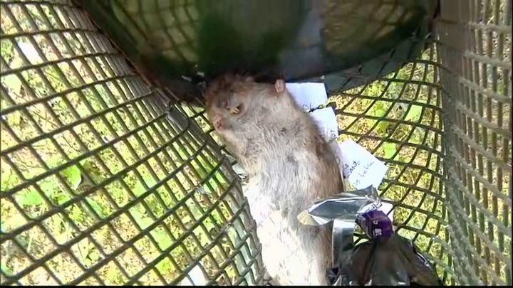 Una vecina de Moratalaz denuncia vivir con ratas