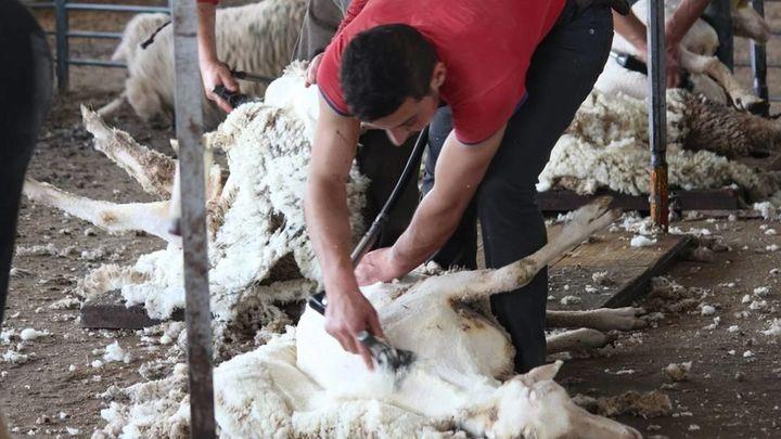Esquilador de ovejas, un oficio en peligro de extinción