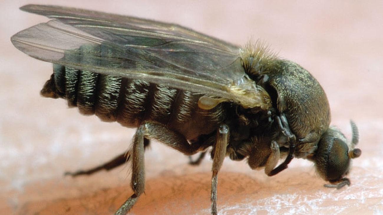 Ejemplar de insecto díptero, simúlido, conocido como mosca negra