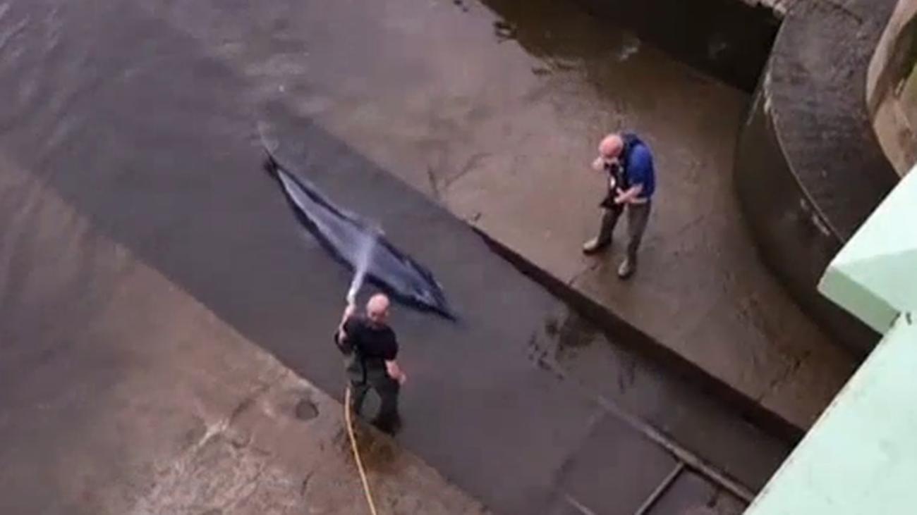 Una ballena queda varada en el Támesis, en pleno centro de Londres