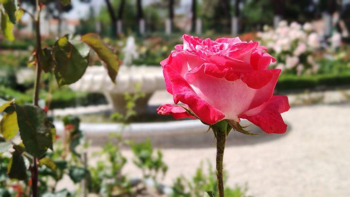 La Rosaleda del Botánico ya se puede visitar
