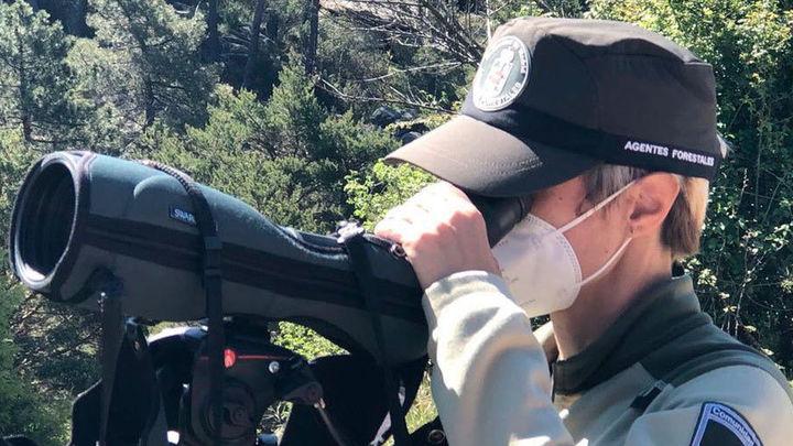 Agentes forestales sacan adelante cien crías de buitre leonado en La Pedriza