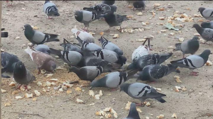 """El barrio de Delicias, invadido por palomas por culpa de una vecina que las alimenta: """"Esto es insalubre"""""""