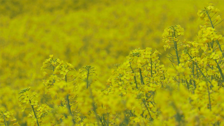 Los impresionantes campos amarillos de colza, una planta que aún arrastra su 'mala fama'