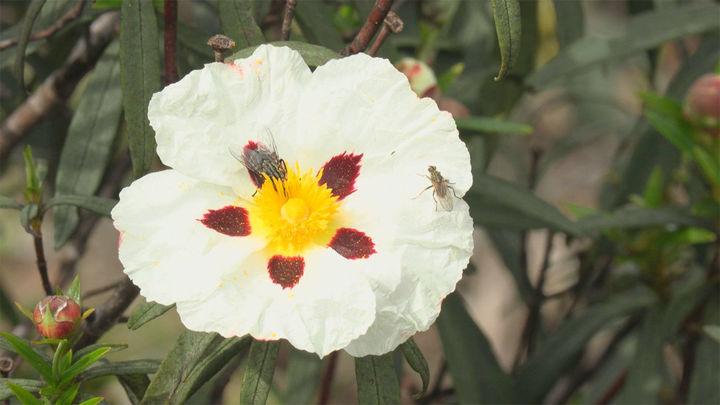 La jara, la reina de las flores en la sierra madrileña