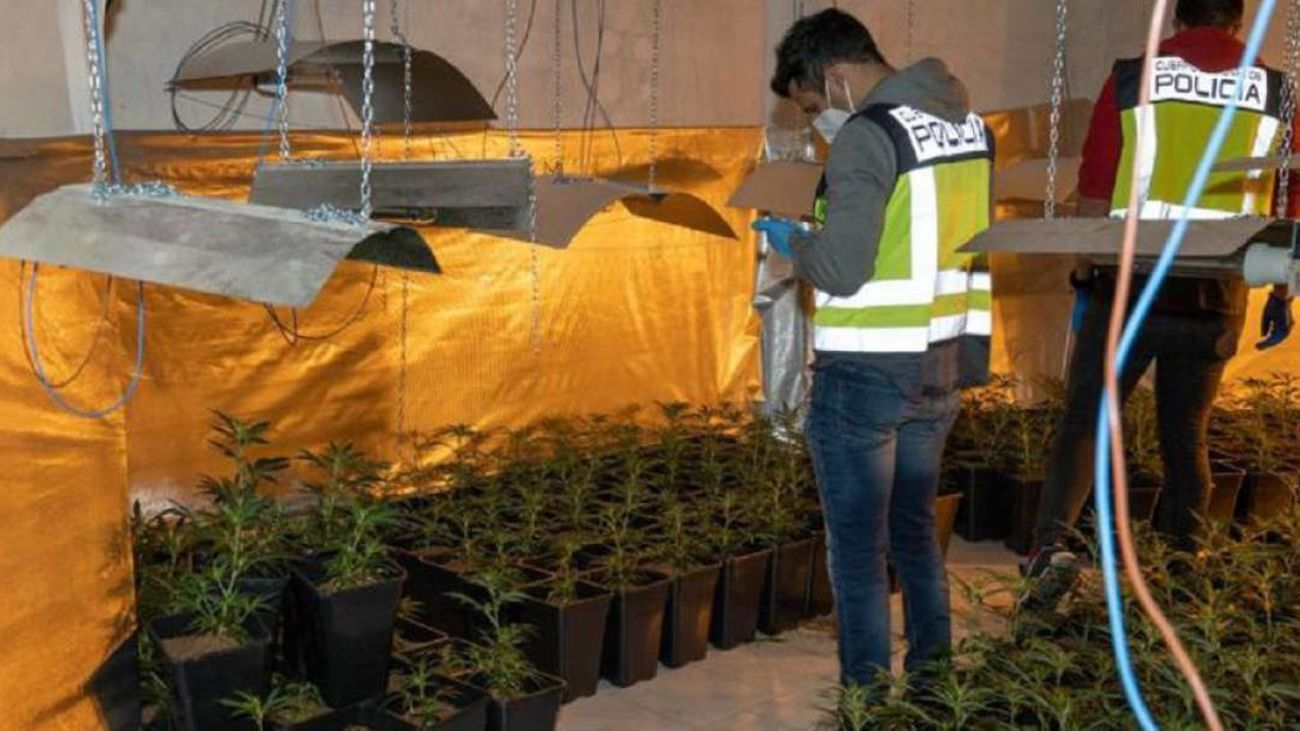 Plantación de marihuana incautada