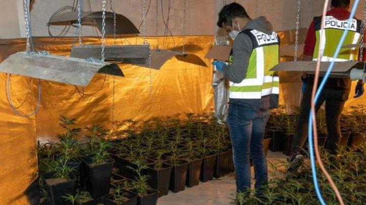 Incautadas más de mil plantas de marihuana en un garaje de San Sebastián de los Reyes