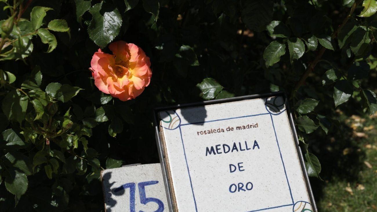 Rosa ganadora del Concurso Internacional Rosa 'Villa de Madrid'
