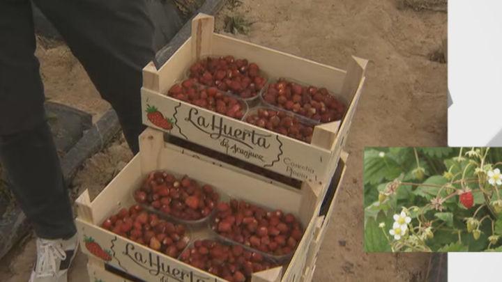Las fresas de Aranjuez, en pleno proceso de recogida