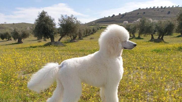 Un caniche gigante, primera mascota española contagiada con la variante británica del coronavirus