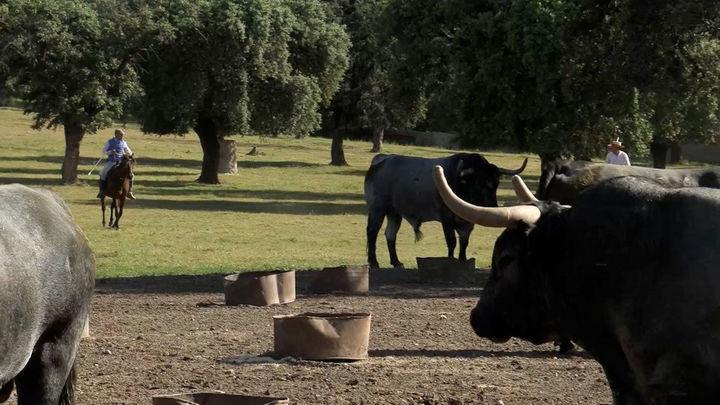 Las ganaderías taurinas, en crisis por la pandemia