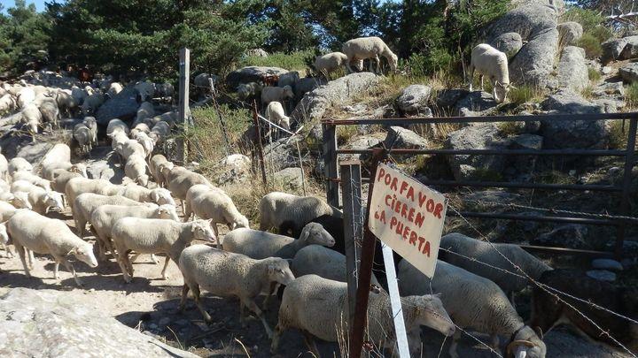 800 ovejas y 100 cabras trashumantes cruzan este fin de semana Madrid