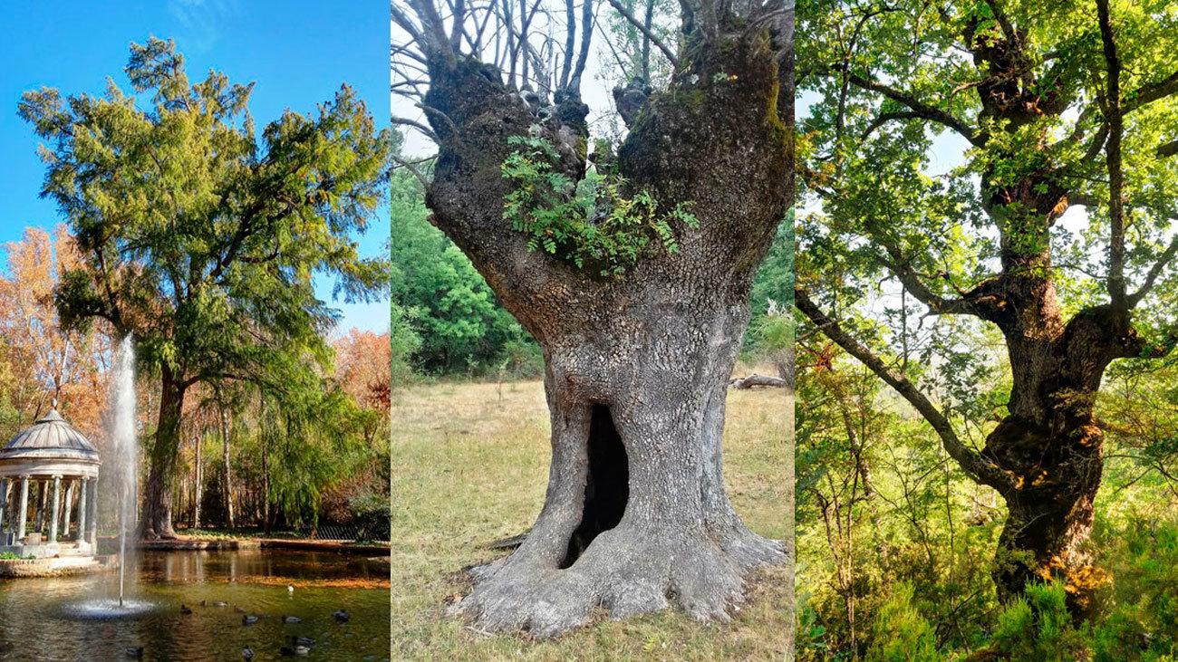 Tres de los árboles más longevos de Madrid