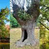 Dónde están los árboles más ancianos de Madrid