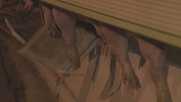 Cortada la A-2 durante varias horas tras el vuelco de un camión cargado de cerdos