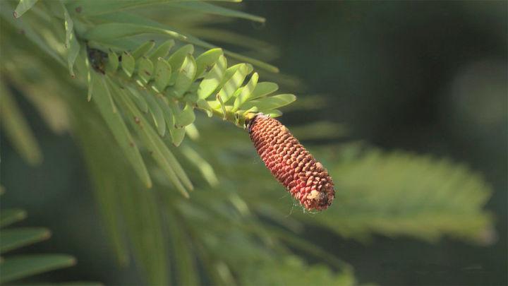 El árbol del que comían los dinosaurios está en El Retiro