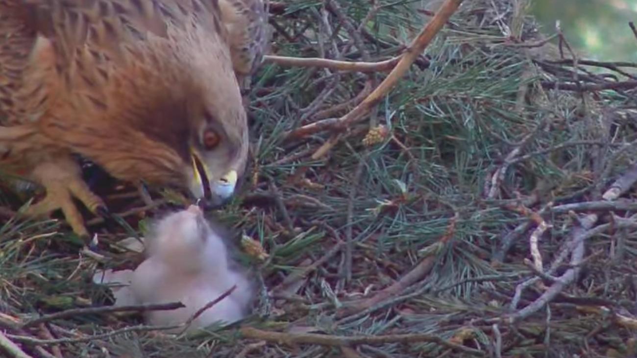 Uno de los adultos atiende al pollo de águila calzada tras abandonar el cascarón