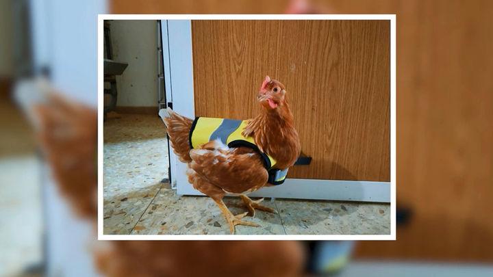 Chalecos reflectantes para controlar a las gallinas