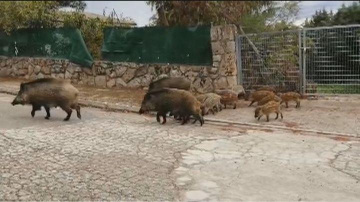 Los numerosos jabalíes que invaden Valdemorillo ya atacan a perros y a personas