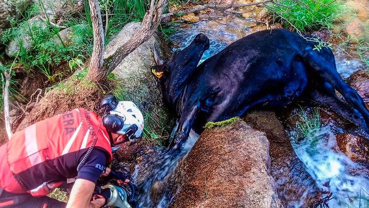 El GERA rescata una vaca atrapada entre dos rocas en un arroyo de Soto del Real