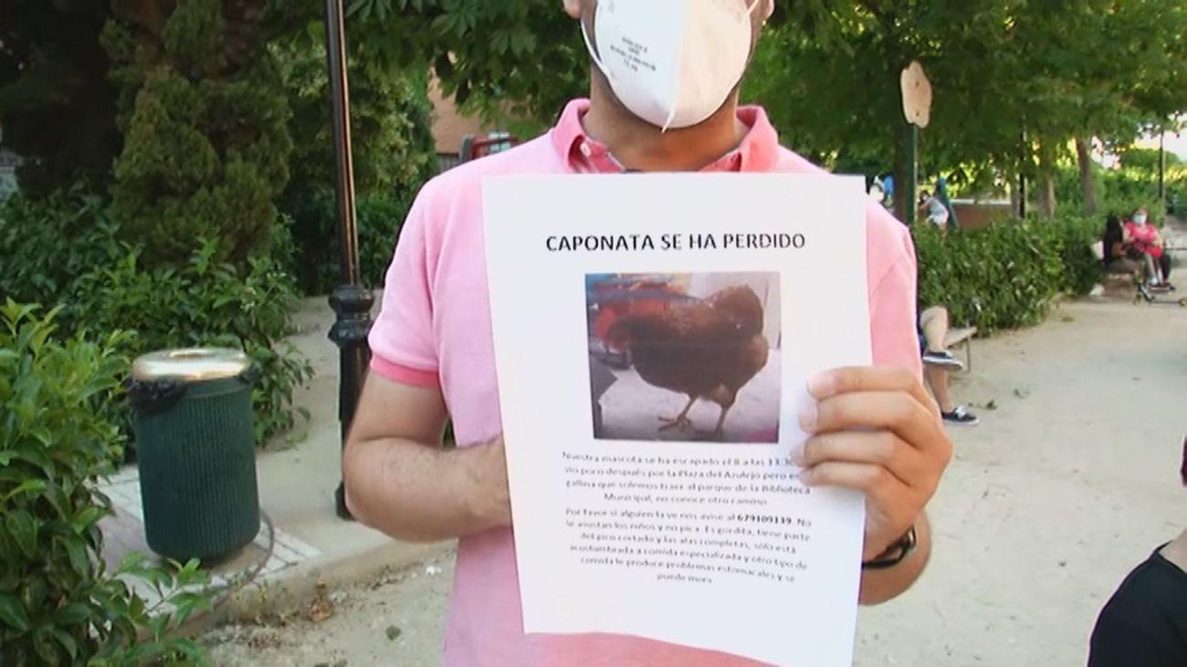 Buscan a Caponata, una gallina desaparecida en Humanes