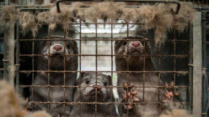 Tercer brote de covid en una granja de visones americanos de Galicia