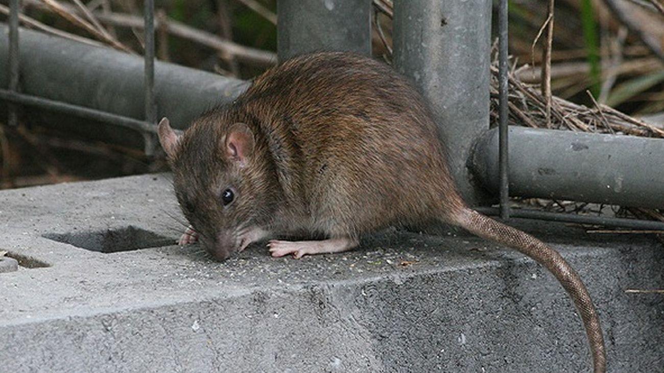 Ejemplar de rata en el medio urbano