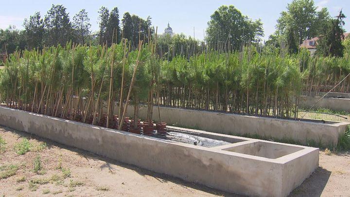 Replanta ya suma 5.000 pinos que se plantarán en la Casa de Campo