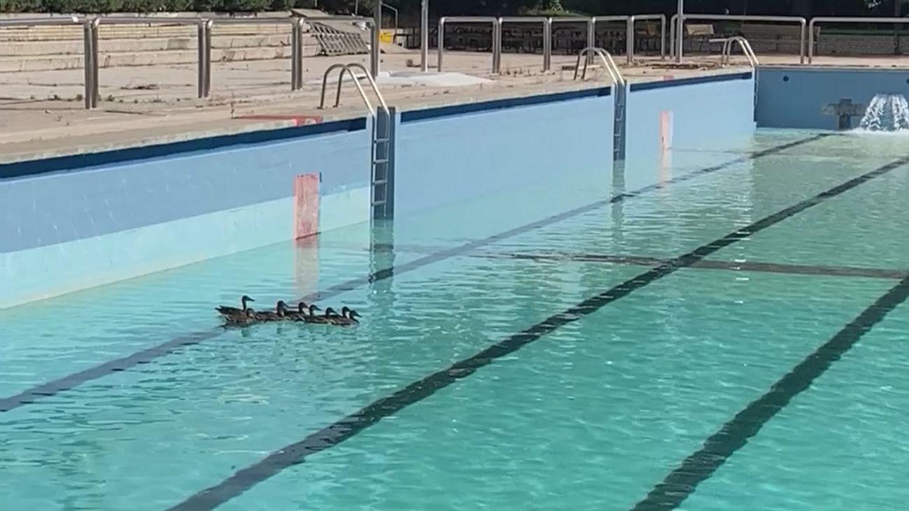 La historia de una familia de patos que vive en la piscina de Moscardó