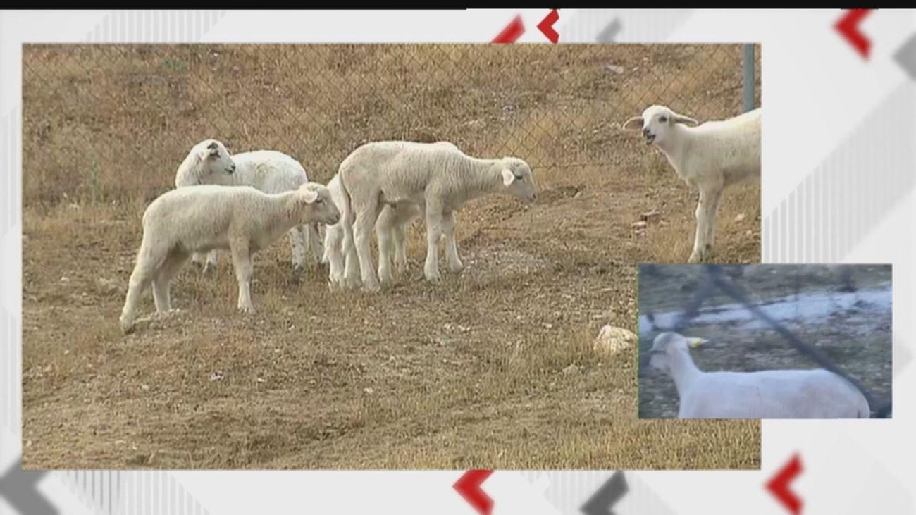 Denuncian la presencia de cinco corderos sueltos junto a la M-50 en Boadilla