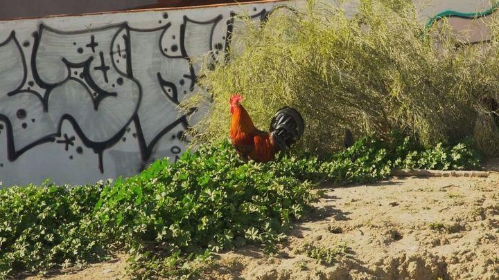 ¿Qué problemas de salud pueden causar las gallinas en la ciudad?