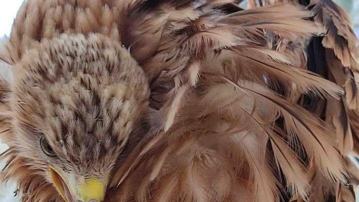 Una pareja de milano real cría tres pollos en la Casa de Campo