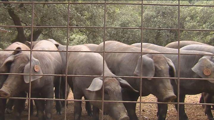 Una ganadera de Jabugo lanza una iniciativa para apadrinar un cerdo ibérico