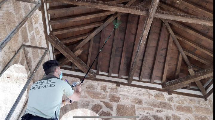 Liberan 60 ejemplares de avión común atrapados en el campanario de la iglesia Belmonte de Tajo