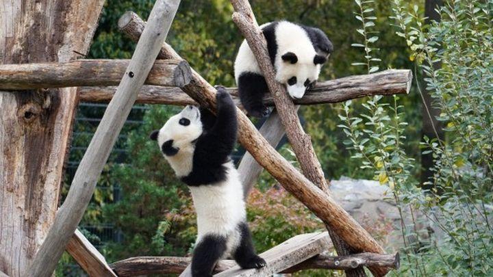 El oso panda deja de ser especie 'en peligro', según China