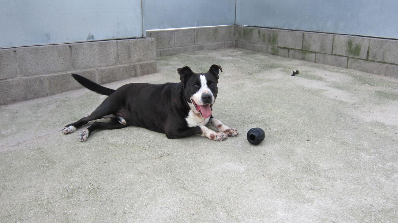 Uno de los perros pendientes de adopción en Móstoles