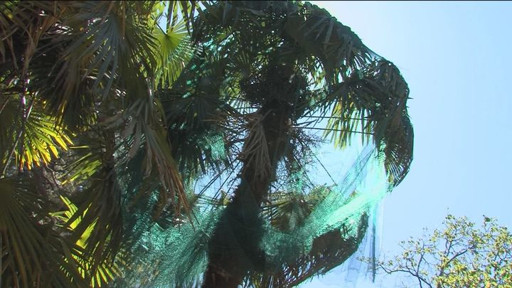 El Jardín Botánico renueva las palmeras afectadas por Filomena