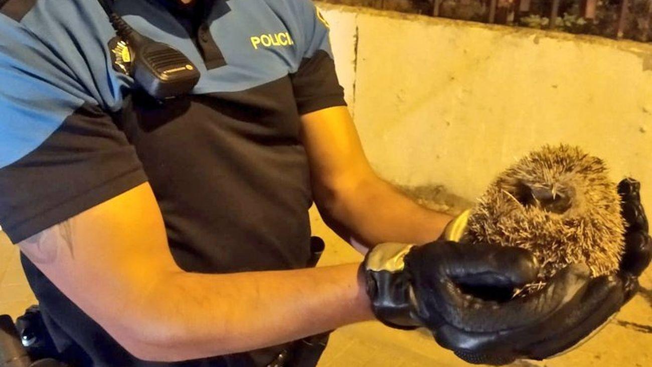 Un agente de la Policía Municipal de Alcorcón muestra el erizo a salvo