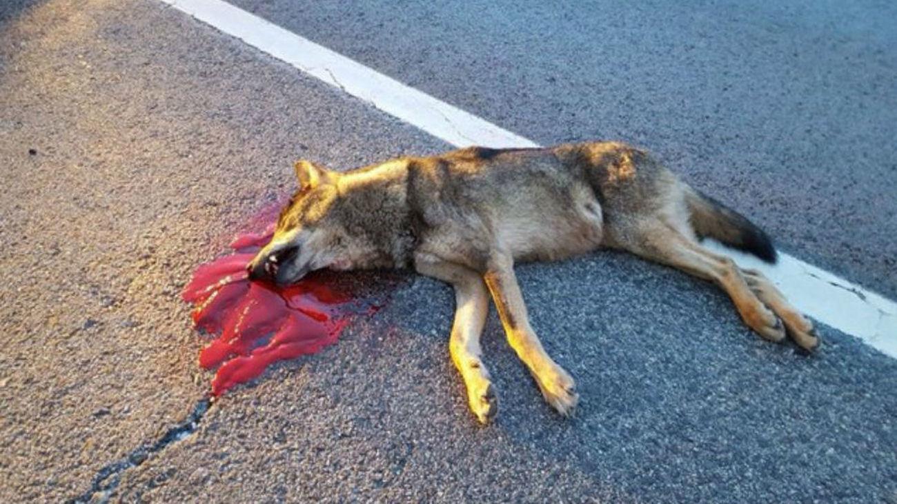Ejemplar de lobo joven atropellado en una carretera de la Sierra de Madrid