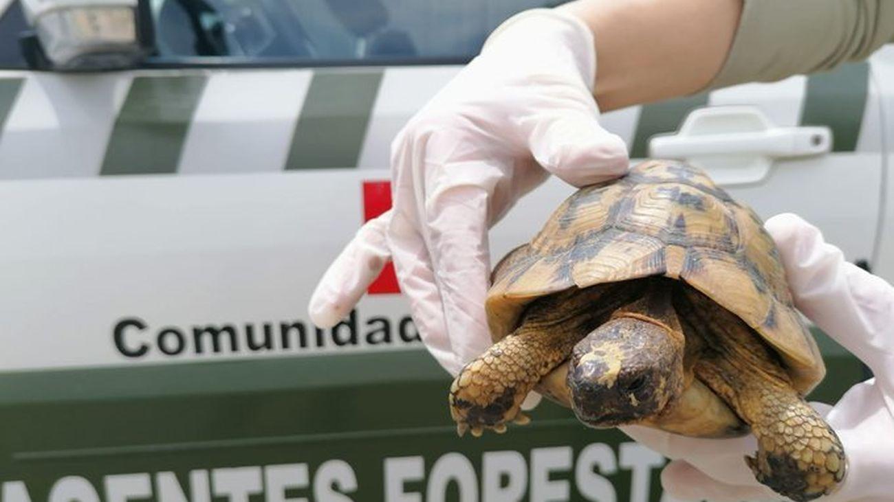 El ejemplar de tortuga mora recuperado por agentes forestales de la Comunidad