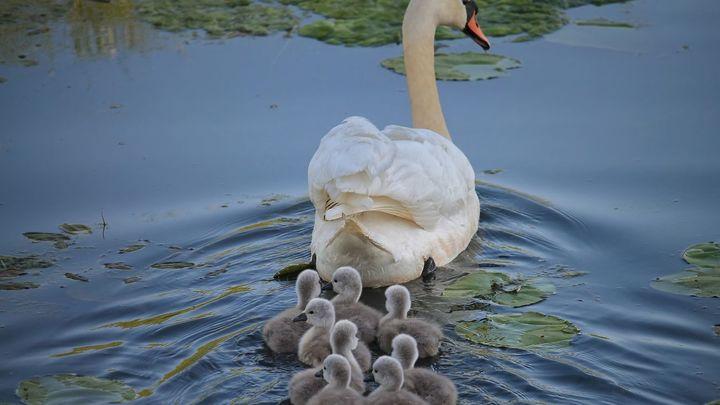 ¿Es verdad que todos los cisnes en aguas británicas pertenecen a la reina Isabel II?
