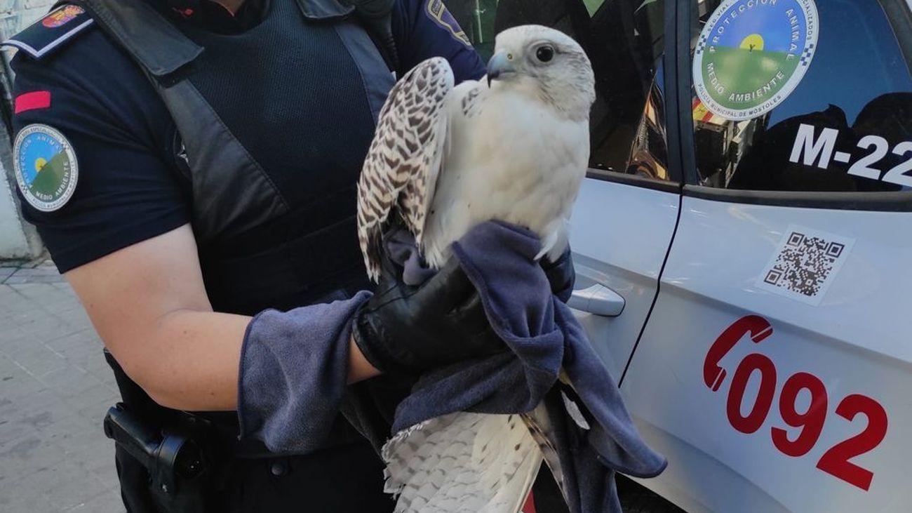 Agente de la Policía Municipal de Móstoles con el ejemplar de halcón gerifalte recuperado