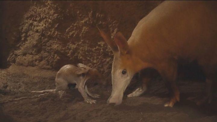 Así es la nueva estrella de Bioparc Valencia: un pequeño cerdo hormiguero