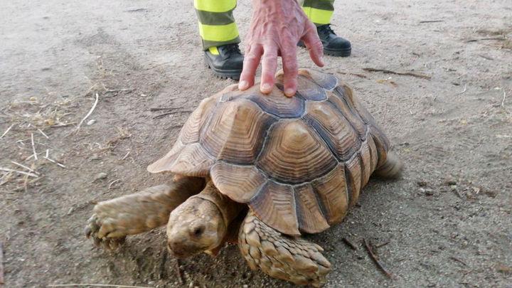 Agentes Forestales rescatan en El Vellón a una tortuga de espolones africana