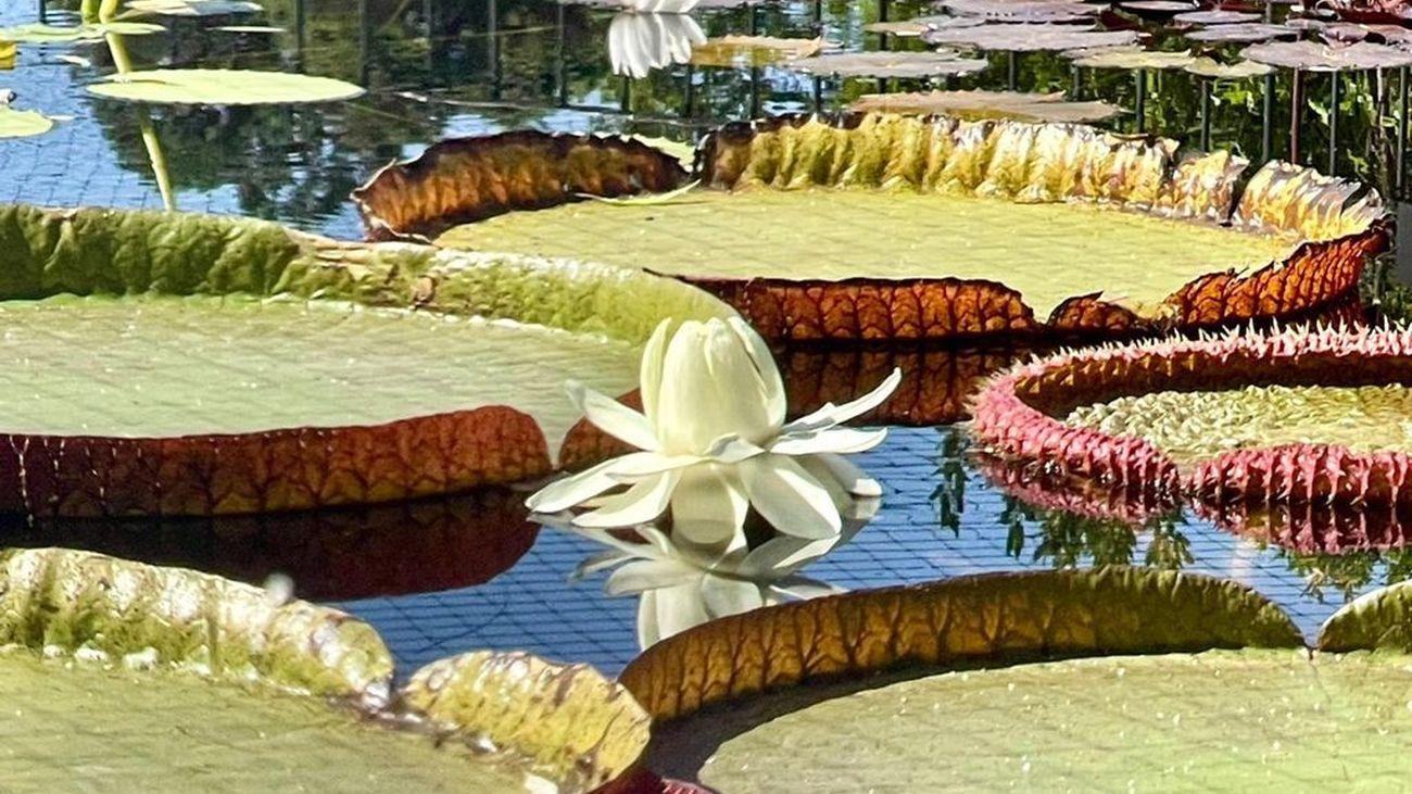 La espectacular floración del nenúfar gigante del Jardín Botánico de Madrid