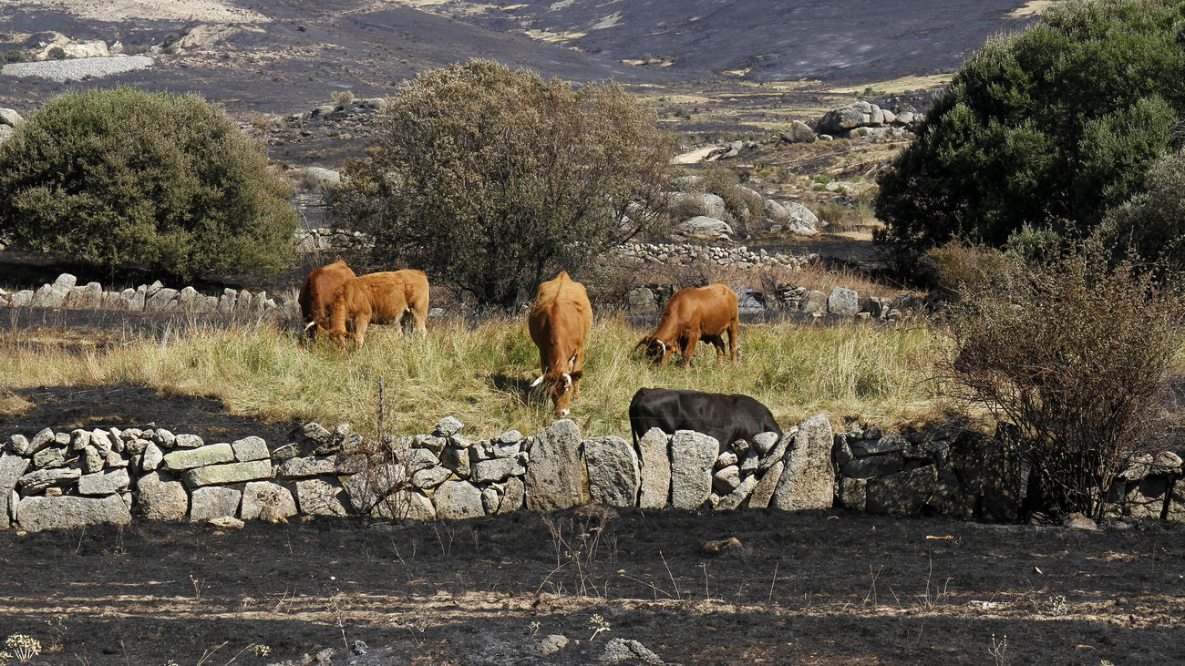 Movilización en Madrid y las dos Castillas para atender animales afectados por el incendio de Ávila