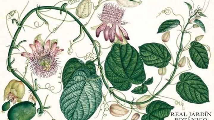 Las pasifloras o 'flores del sufrimiento' ilustran el calendario del Real Jardín Botánico de 2022