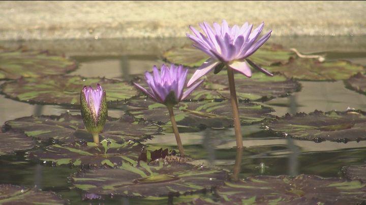 El estanque de los nenúfares alivian las altas temperaturas en el Botánico
