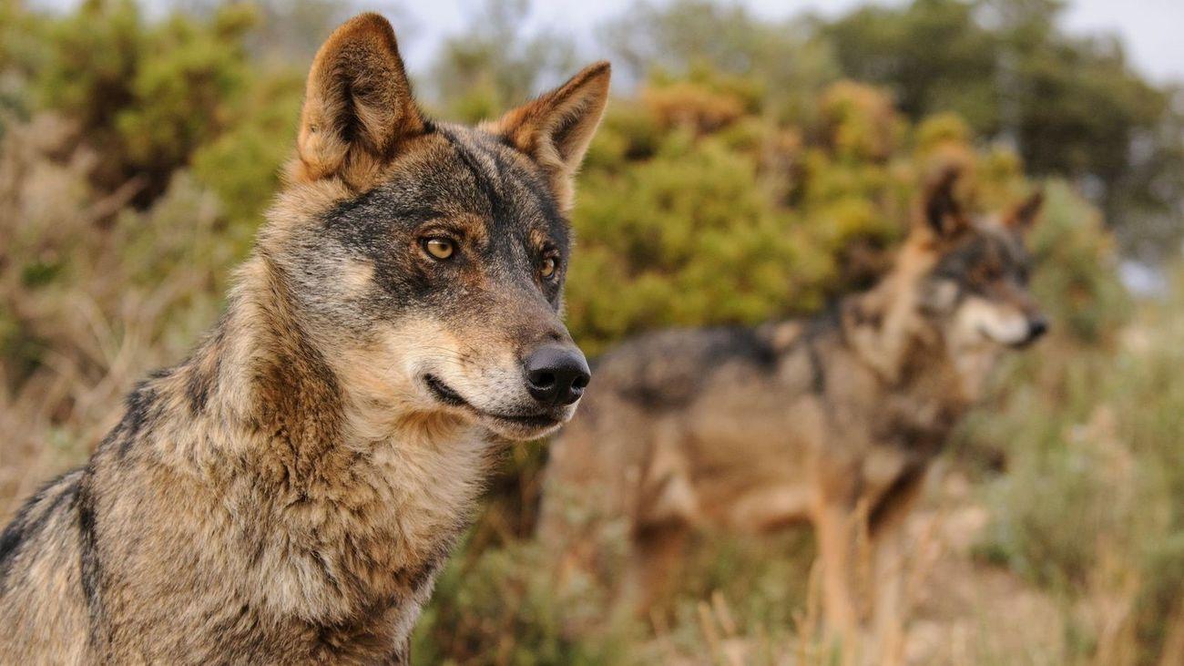 Cazar lobos queda prohibido en toda España