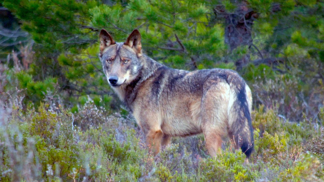 La caza del lobo queda prohibida definitivamente en España